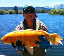 Fisherman shows off recent goldfigh trophy from Lake Tahoe Nevada.
